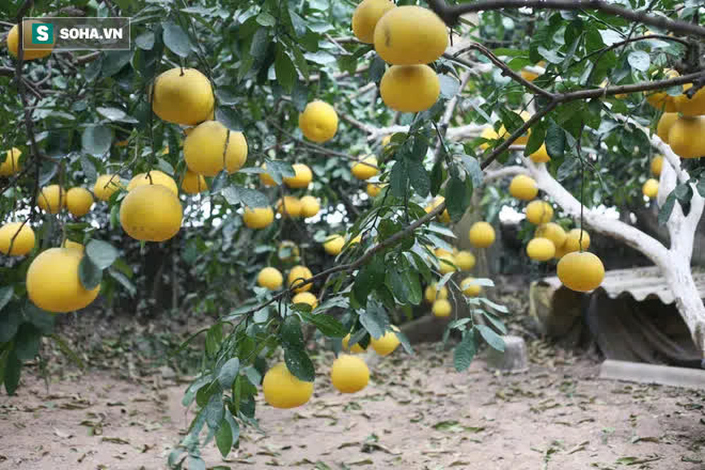 Trồng loại quả chín vàng, để càng héo càng thơm ngon, nông dân Hà Nội thu nửa tỷ vụ Tết - Ảnh 6.