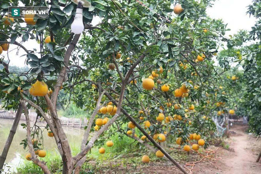 Trồng loại quả chín vàng, để càng héo càng thơm ngon, nông dân Hà Nội thu nửa tỷ vụ Tết - Ảnh 8.