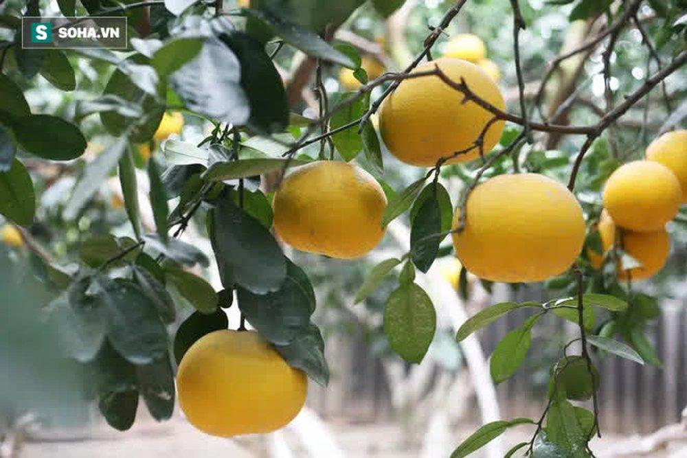 Trồng loại quả chín vàng, để càng héo càng thơm ngon, nông dân Hà Nội thu nửa tỷ vụ Tết - Ảnh 4.