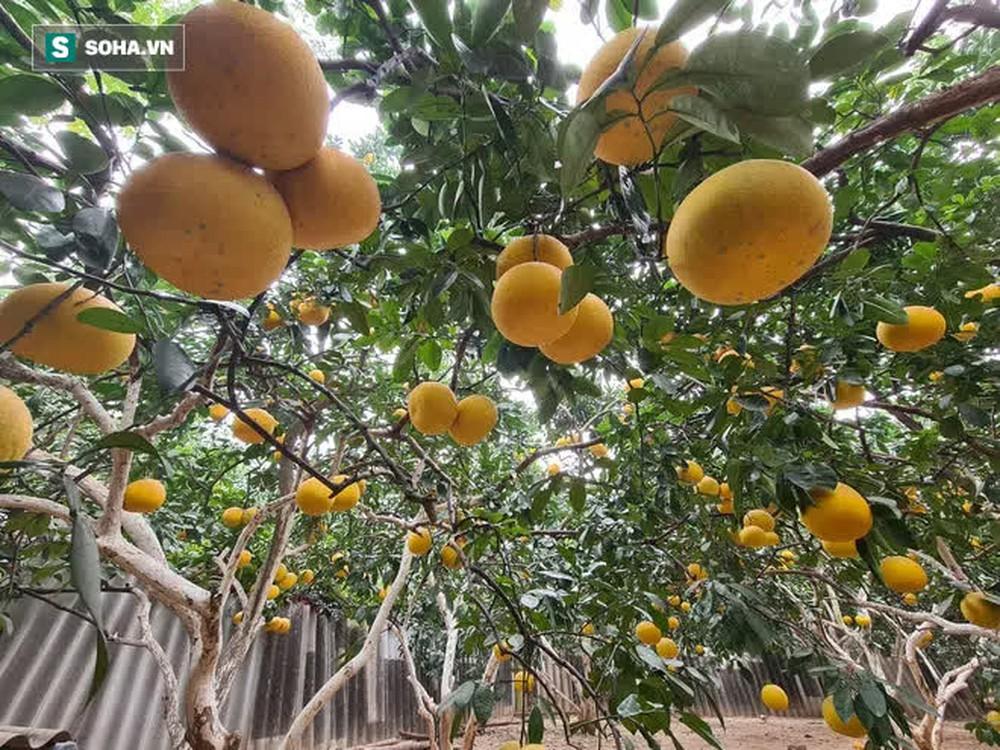 Trồng loại quả chín vàng, để càng héo càng thơm ngon, nông dân Hà Nội thu nửa tỷ vụ Tết - Ảnh 5.