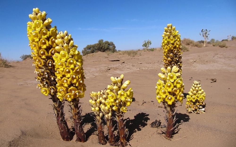 Cây dại được mệnh danh là nhân sâm sa mạc: Bổ thận, tráng dương, giải độc, trẻ hóa - Ảnh 1.