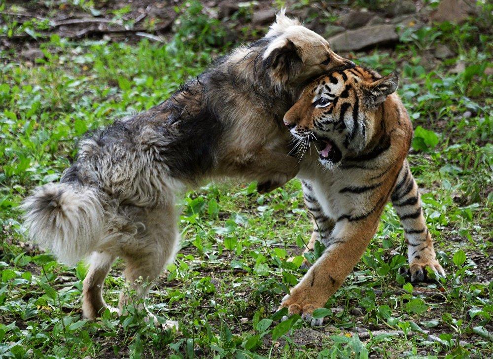 Nhân viên sở thú thả chó vào chuồng hổ khiêu chiến: Thái độ của chúa sơn lâm sau đó khiến họ ngỡ ngàng - Ảnh 3.