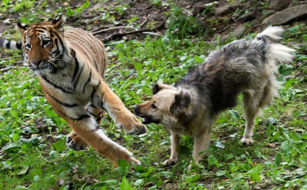 Nhân viên sở thú thả chó vào chuồng hổ khiêu chiến: Thái độ của chúa sơn lâm sau đó khiến họ ngỡ ngàng