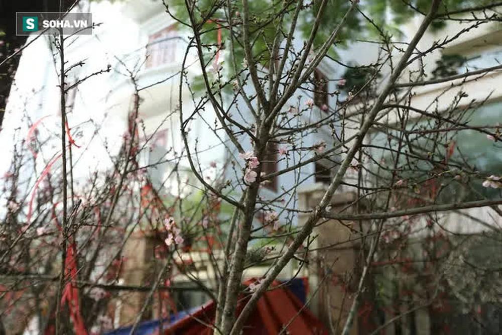 Đào rừng đổ bộ Thủ đô, cành hoa Tết 25 triệu xuất hiện chi tiết lạ chưa từng có - Ảnh 9.