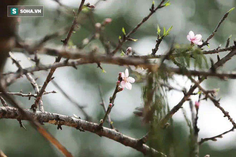Đào rừng đổ bộ Thủ đô, cành hoa Tết 25 triệu xuất hiện chi tiết lạ chưa từng có - Ảnh 8.