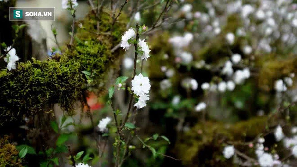 Mai trắng bọc rêu đầy thân cổ quái, hàng độc chơi Tết rao giá bất ngờ - Ảnh 10.
