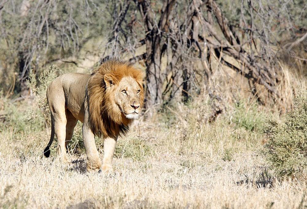 Cận cảnh màn nội chiến kịch liệt của bầy sư tử - Ảnh 1.