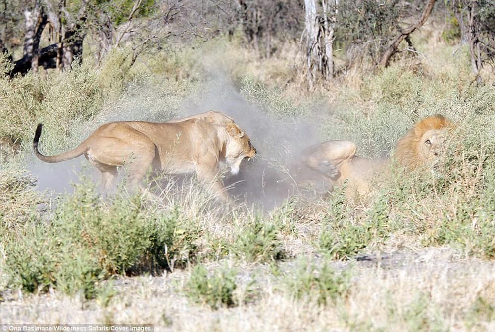 Cận cảnh màn nội chiến kịch liệt của bầy sư tử - Ảnh 2.
