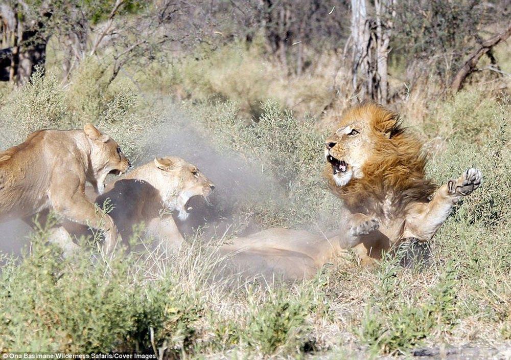 Cận cảnh màn nội chiến kịch liệt của bầy sư tử - Ảnh 3.