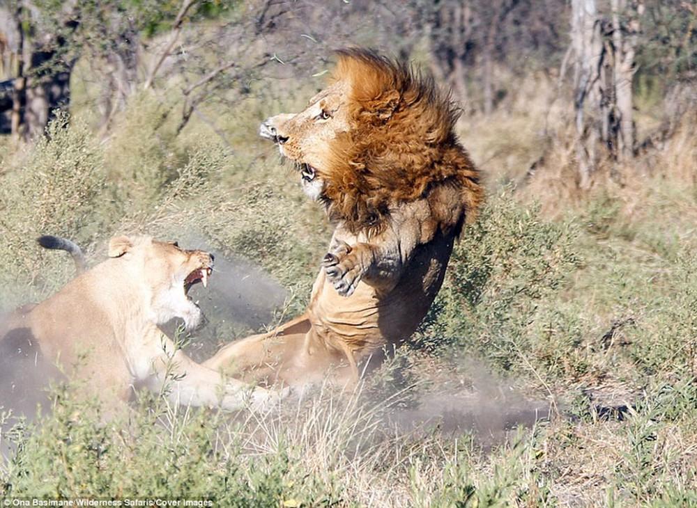 Cận cảnh màn nội chiến kịch liệt của bầy sư tử - Ảnh 4.