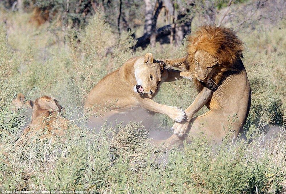 Cận cảnh màn nội chiến kịch liệt của bầy sư tử - Ảnh 5.