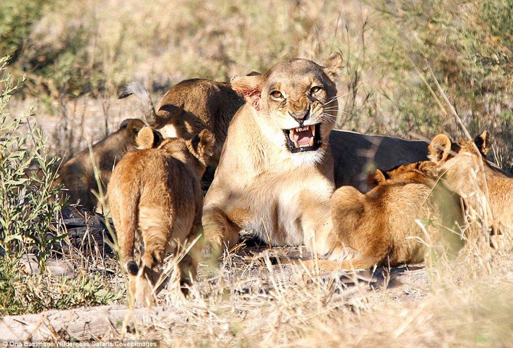 Cận cảnh màn nội chiến kịch liệt của bầy sư tử - Ảnh 6.