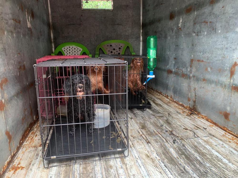 Cán bộ phường nuôi giúp đàn chó của gia đình F0 đi cách ly: Chăm sóc vài chú chó đâu là vấn đề - Ảnh 1.