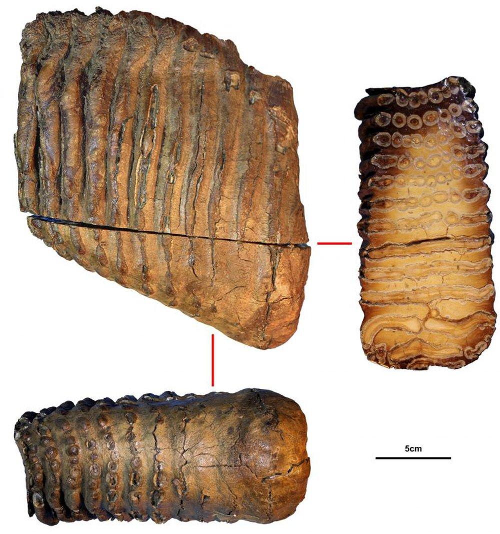 DNA cổ nhất thế giới - 1,2 triệu năm tuổi - tiết lộ sự trỗi dậy của loài động vật khổng lồ 12 tấn - Ảnh 1.