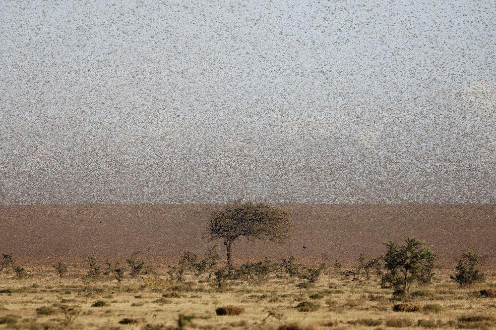 Từng đàn châu chấu chục triệu con bủa vây giăng kín trời Đông Phi: Người dân tương kế tựu kế thu lợi lớn - Ảnh 2.