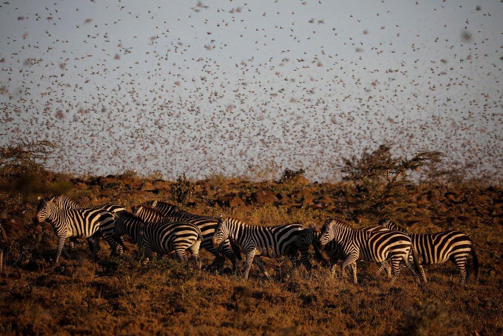 Từng đàn châu chấu chục triệu con bủa vây giăng kín trời Đông Phi: Người dân tương kế tựu kế thu lợi lớn - Ảnh 3.