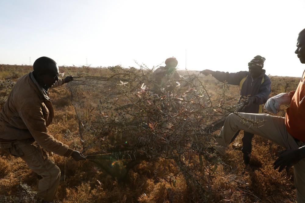 Từng đàn châu chấu chục triệu con bủa vây giăng kín trời Đông Phi: Người dân tương kế tựu kế thu lợi lớn - Ảnh 10.