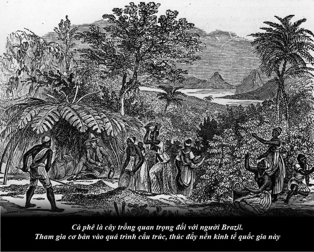 Brazil từ thuộc địa trở thành cường quốc cà phê thế giới - Ảnh 2.