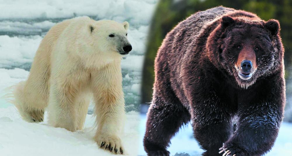 Gấu Bắc Cực buộc phải sống cùng gấu xám rồi nảy sinh tình cảm - sinh ra một loài gấu mới - Ảnh 1.