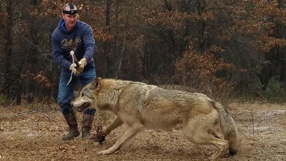 Chó sói to lớn bị người đàn ông dùng gậy bắt chó ghì chặt xuống đất, cái kết cảm động - Ảnh 1.
