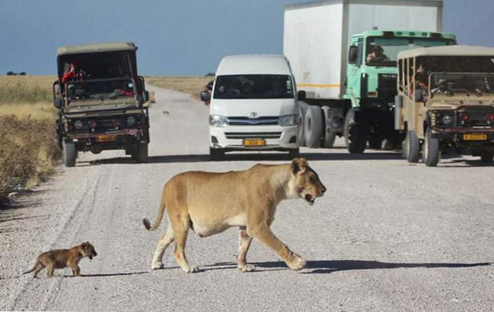 Sư tử cái dắt con băng qua đường, đang đi bỗng đứa con biến mất, quay lại thì thấy cảnh tượng này! - Ảnh 1.