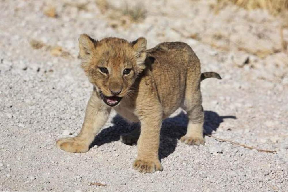 Sư tử cái dắt con băng qua đường, đang đi bỗng đứa con biến mất, quay lại thì thấy cảnh tượng này! - Ảnh 3.