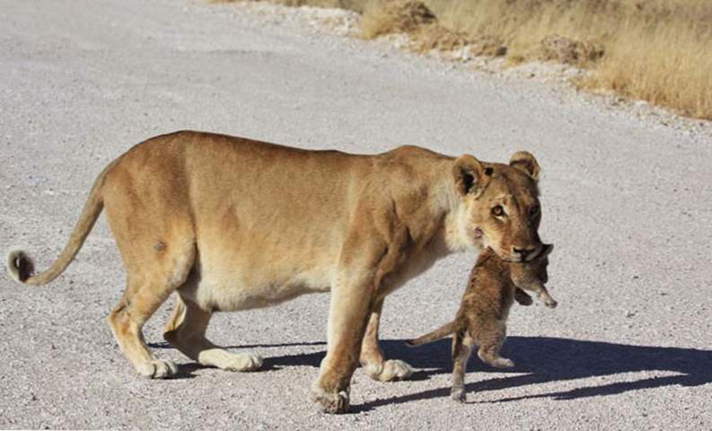 Sư tử cái dắt con băng qua đường, đang đi bỗng đứa con biến mất, quay lại thì thấy cảnh tượng này! - Ảnh 6.