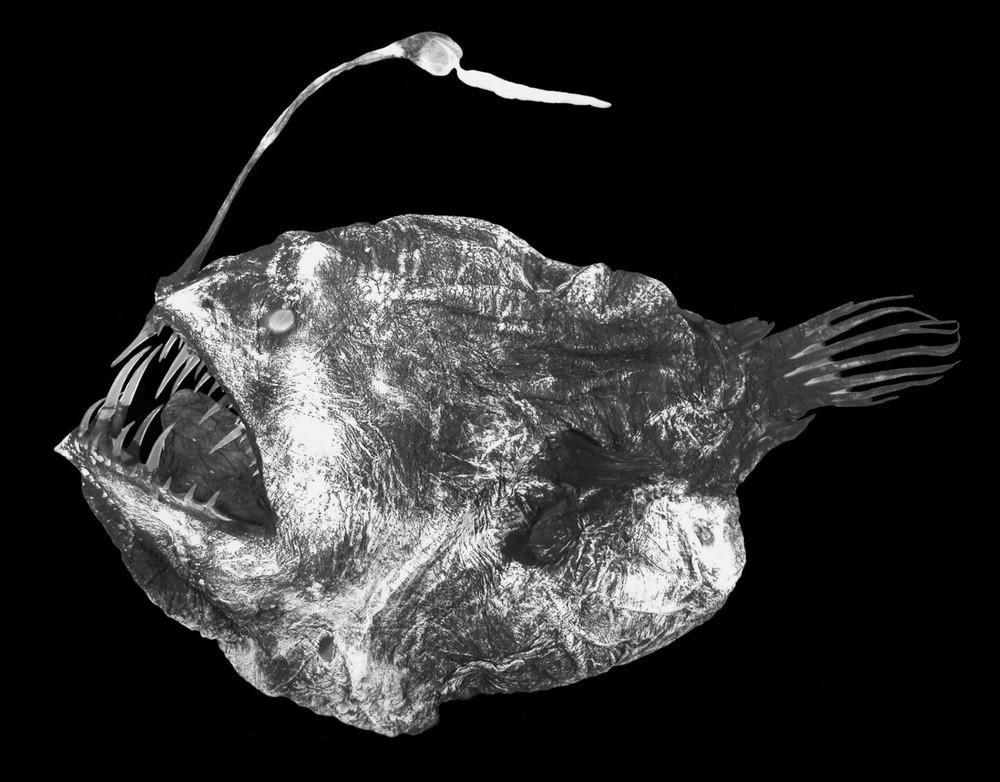 Quái vật đại dương ở sâu 1.000 mét dạt vào bờ biển: Sở hữu hành vi tình dục dị tột bậc trong giới tự nhiên - Ảnh 3.