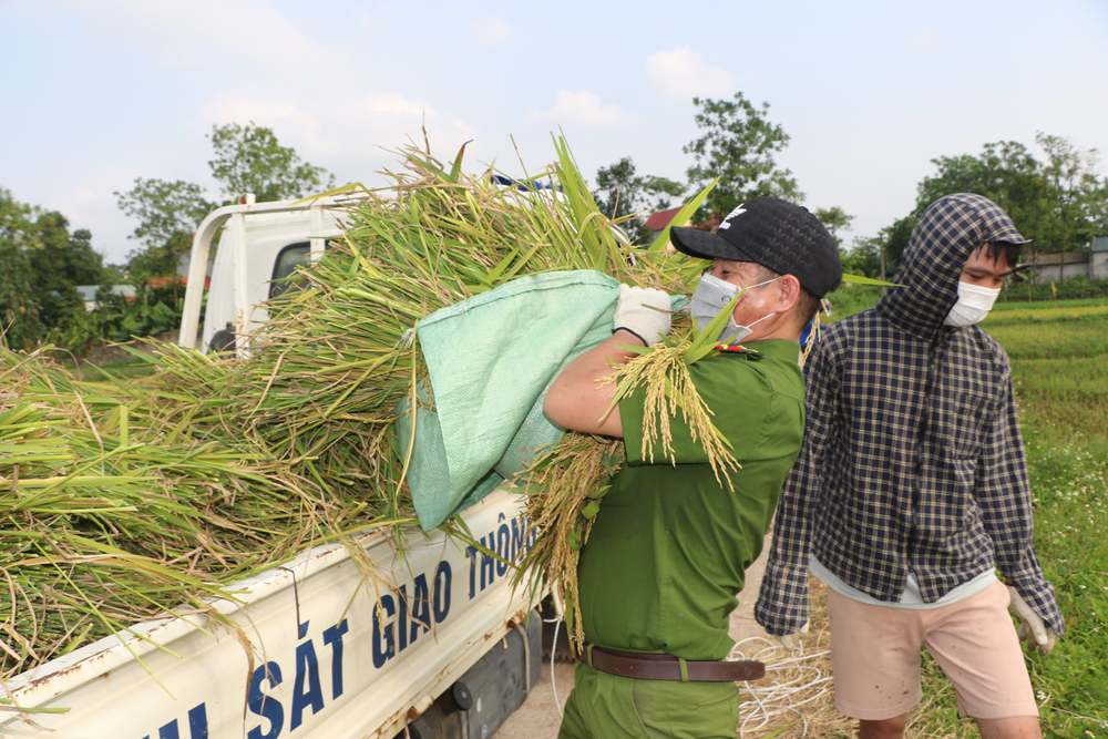 Công an xuống xã lội ruộng gặt lúa giúp các F1, F2 đang phải cách ly - Ảnh 7.