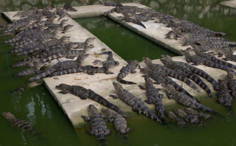 Cá sấu Dương Tử chỉ còn 200 con hoang dã, hiếm hơn cả gấu trúc: Tại sao chúng vẫn được phục vụ trên bàn nhậu? - Ảnh 5.