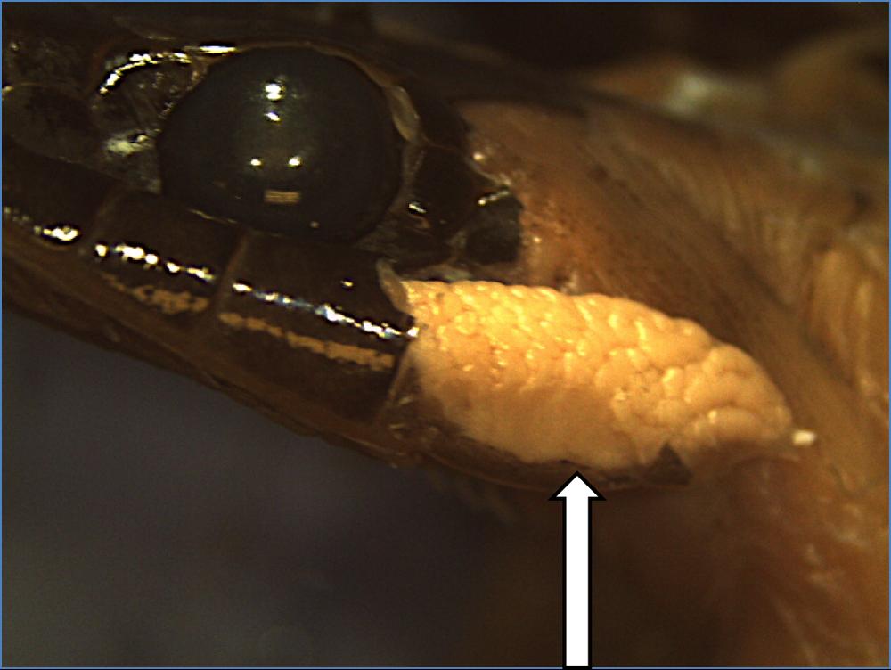 Bí ẩn loài rắn đầu tam giác, lưỡi đỏ, có tới 4 răng nanh ở Việt Nam: Mức độ nguy hiểm ra sao? - Ảnh 3.
