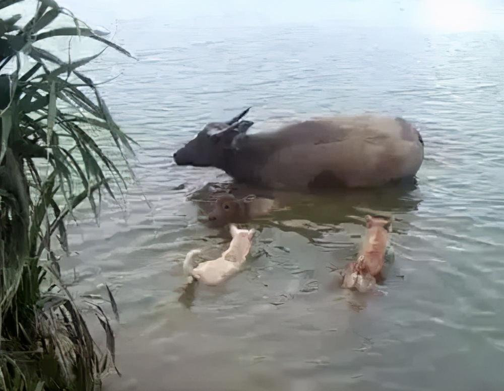 Đàn chó kéo nhau ra sông bắt nạt trâu nước khiến lão ngưu tức điên: Ai cho tôi lương thiện? - Ảnh 1.