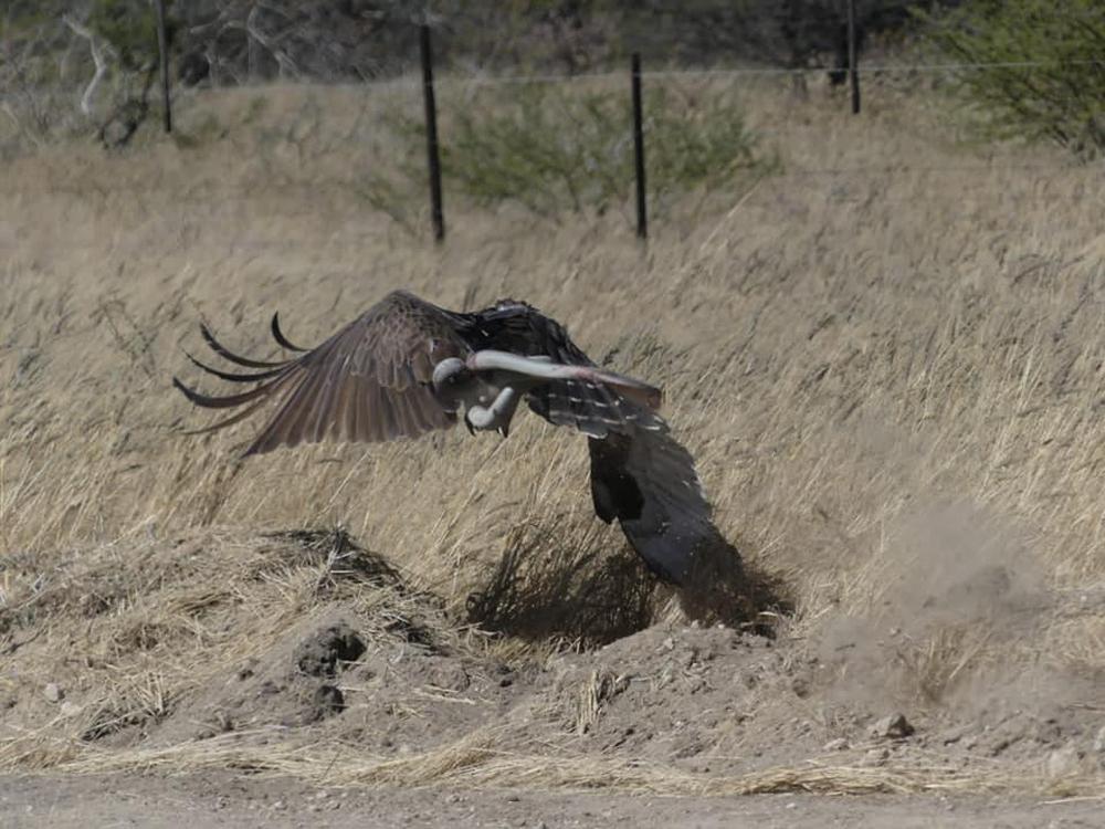 Độc tố thuộc top 5 rắn độc thế giới, Mamba đen vẫn là mục tiêu của đại bàng: Kết cục ra sao? - Ảnh 4.