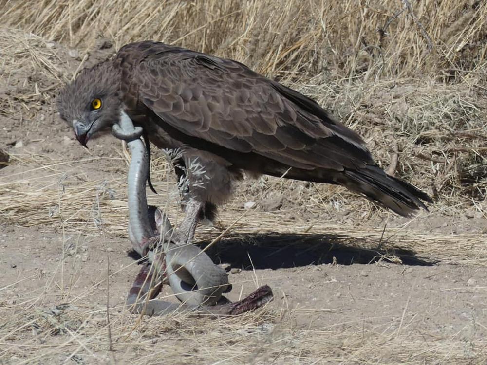 Độc tố thuộc top 5 rắn độc thế giới, Mamba đen vẫn là mục tiêu của đại bàng: Kết cục ra sao? - Ảnh 1.