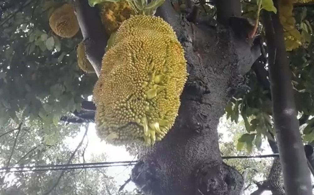 Nhà trồng được cây mít trĩu quả, chưa kịp mừng thì toàn bộ đều lòi cả múi ra ngoài: Dân mạng xem xong ai cũng cảm thấy rùng mình