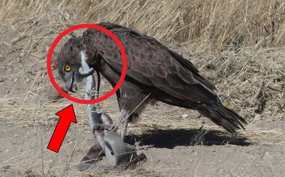 Độc tố thuộc top 5 rắn độc thế giới, Mamba đen vẫn là mục tiêu của đại bàng: Kết cục ra sao?