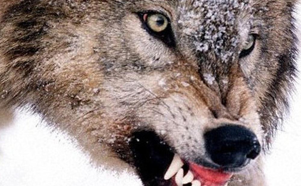 Chó sói tấn công diễn viên trên sân khấu ở Trung Quốc khiến người xem ''lạnh sống lưng''