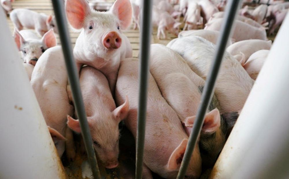 Trung Quốc đối mặt khủng hoảng thừa thịt lợn