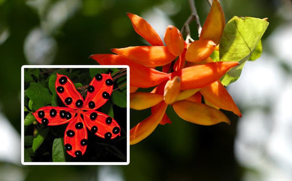"""Hiếm ai biết ở Việt Nam có một loại quả đẹp như hoa, nghe tên cực """"sảng"""" và đã trở thành tuổi thơ của bao người"""