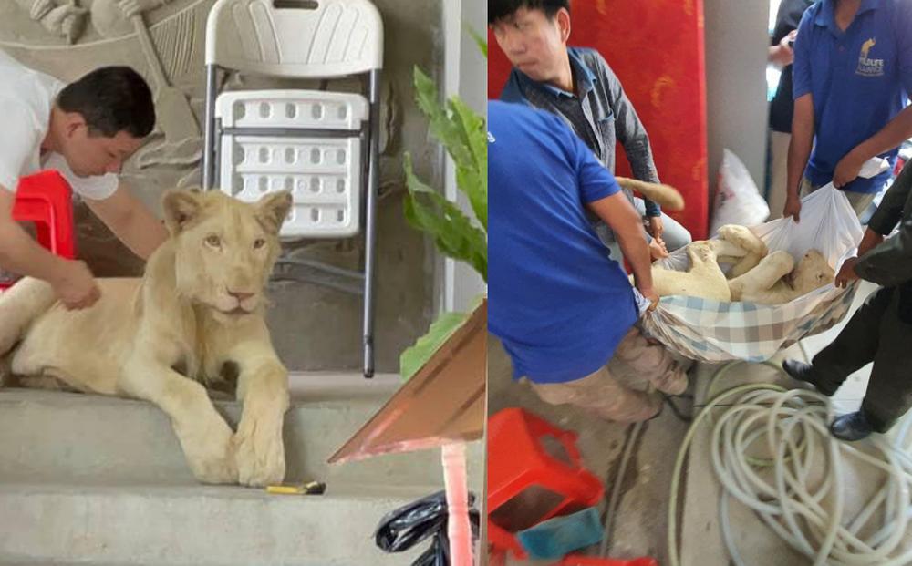 Phát hiện sư tử bị nuôi trái phép, đến nơi các nhân viên sững sờ trước điểm bất thường của nó
