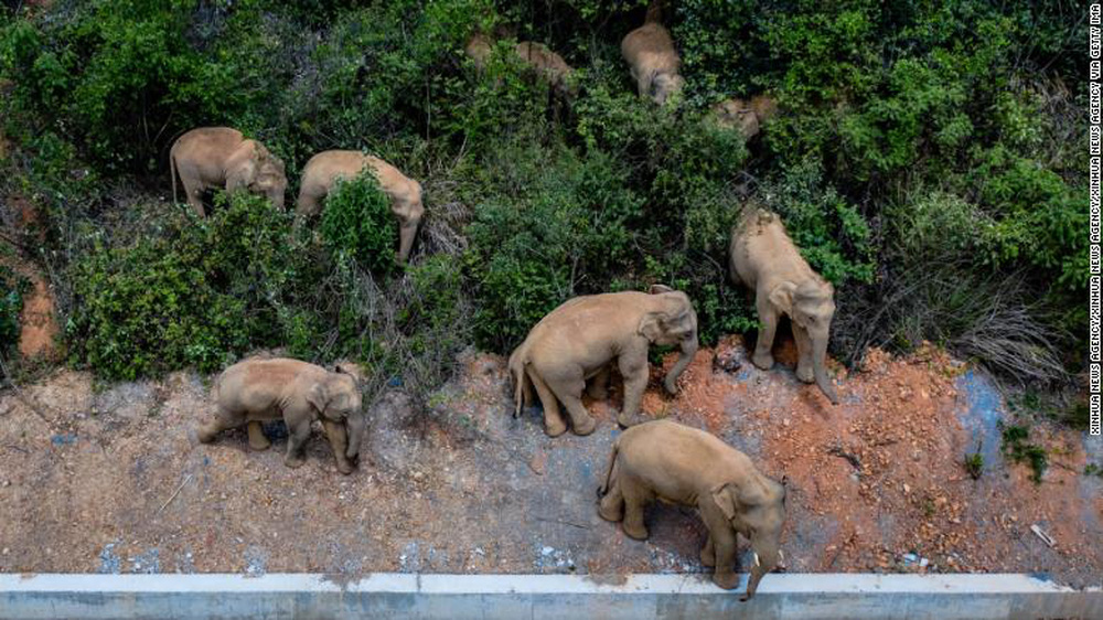 Trung Quốc: Đàn voi dữ tháo chạy khỏi khu bảo tồn, gây thiệt hại kinh hoàng trên đoạn đường 500km - Ảnh 2.
