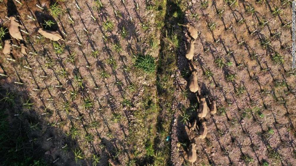 Trung Quốc: Đàn voi dữ tháo chạy khỏi khu bảo tồn, gây thiệt hại kinh hoàng trên đoạn đường 500km - Ảnh 1.