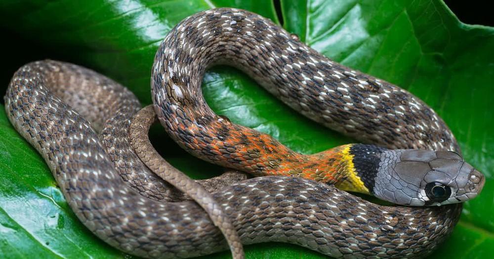 """Người Trung Quốc có câu """"Rắn mương sợ lươn đồng"""" - Có thật là rắn sợ lươn?  - Ảnh 1."""