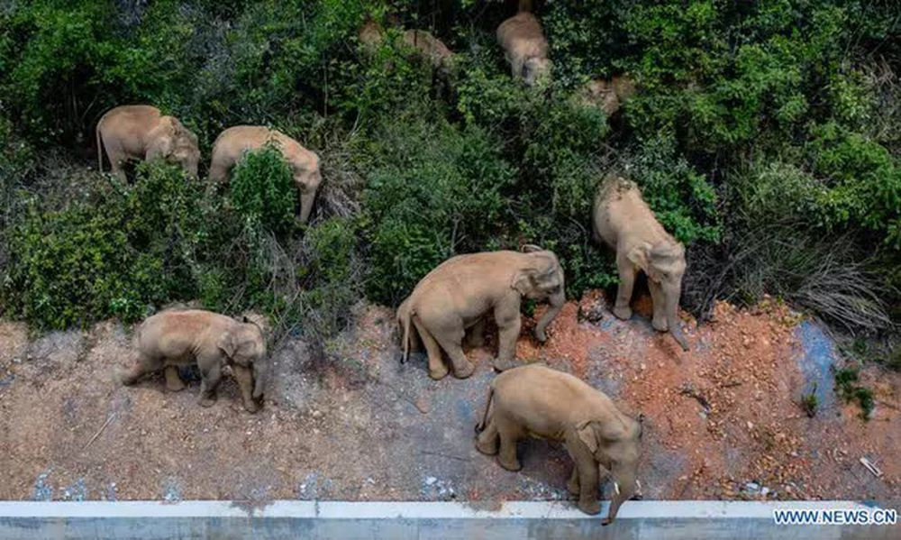 Chính phủ Trung Quốc đau đầu vì đàn voi bất trị - Ảnh 1.