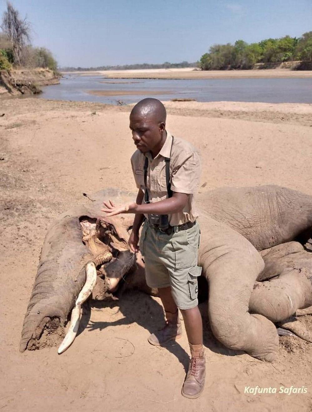 Đến kiểm tra xác voi bên bờ sông, nhà bảo tồn sững sờ khi nhìn thấy thứ bên dưới thi thể 5 tấn - Ảnh 4.