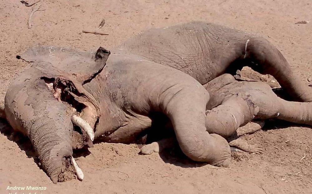 Đến kiểm tra xác voi bên bờ sông, nhà bảo tồn sững sờ khi nhìn thấy thứ bên dưới thi thể 5 tấn