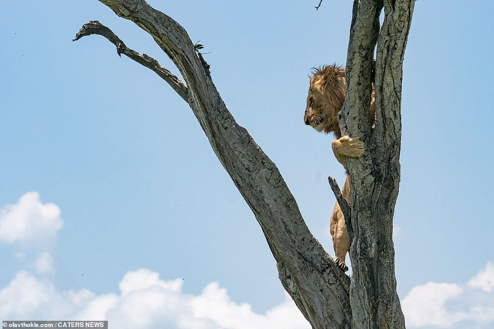 """Thấy """"vua của muôn loài"""" ôm cây sợ hãi, nhiếp ảnh gia nhìn xuống dưới lập tức hiểu ra vấn đề - Ảnh 3."""