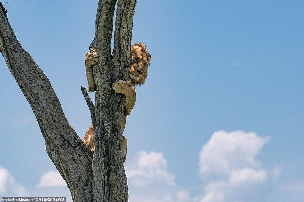 """Thấy """"vua của muôn loài"""" ôm cây sợ hãi, nhiếp ảnh gia nhìn xuống dưới lập tức hiểu ra vấn đề - Ảnh 2."""