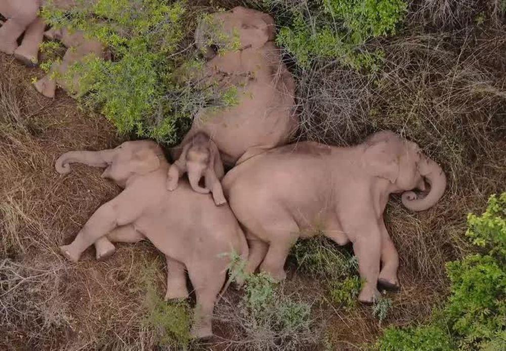 Trung Quốc: Đàn voi bất trị gây sốt vì ngủ trưa quá đáng yêu - Ảnh 1.
