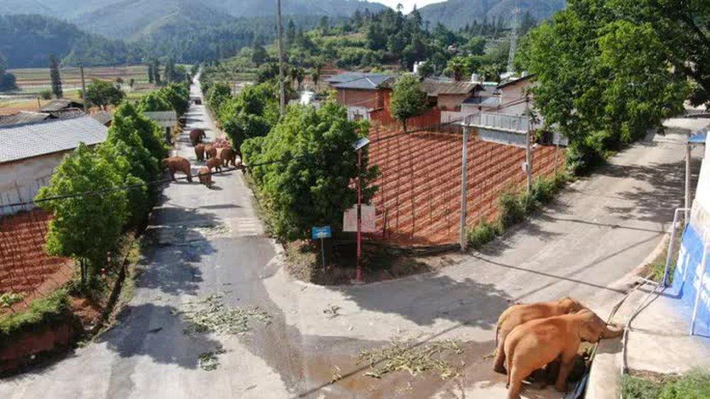 Trung Quốc: Đàn voi bất trị gây sốt vì ngủ trưa quá đáng yêu - Ảnh 7.